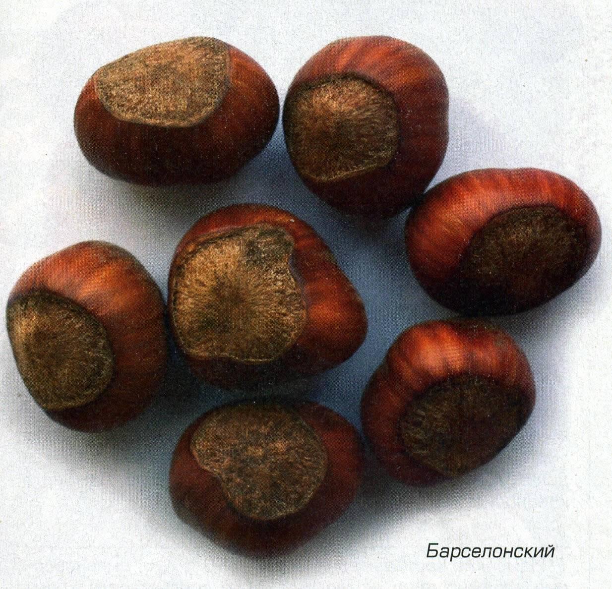 Сорт фундука Барселонский