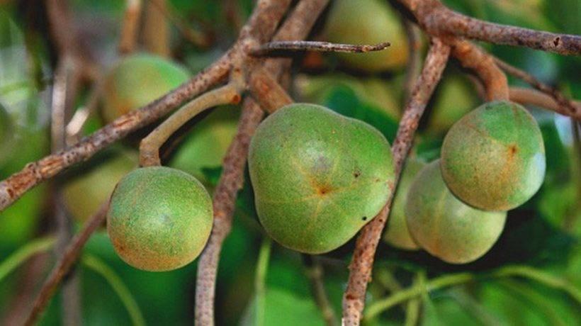 Aleurites moluccanus - aleurites moluccanus - qaz.wiki