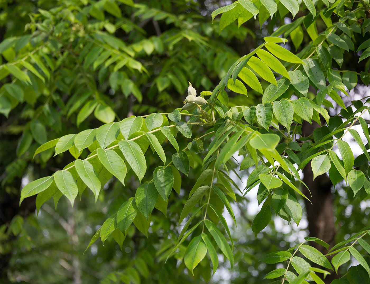 Грецкий орех: описание дерева, сорта, распространение