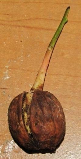 Грецкий орех: посадка семенами и саженцами, уход