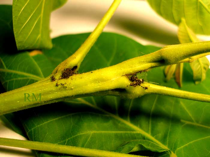 Болезни грецкого ореха и вредители: фото, лечение дерева