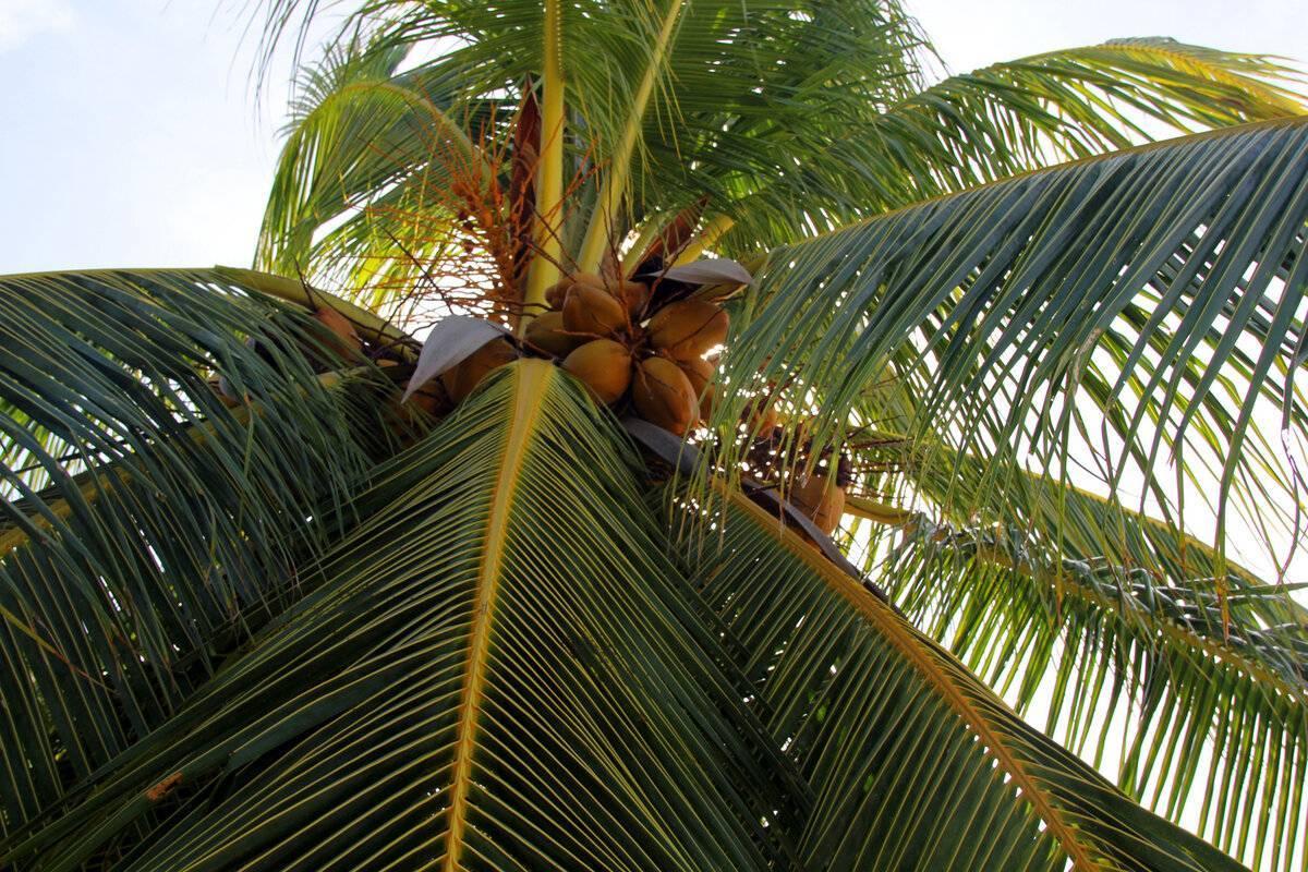 Виды пальм: фото, название, а также разновидности комнатных растений