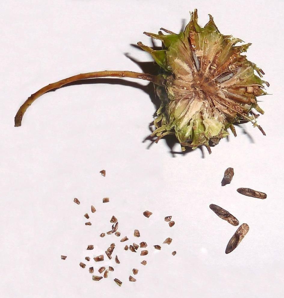 Анациклус или слюногон: советы по выращиванию на даче