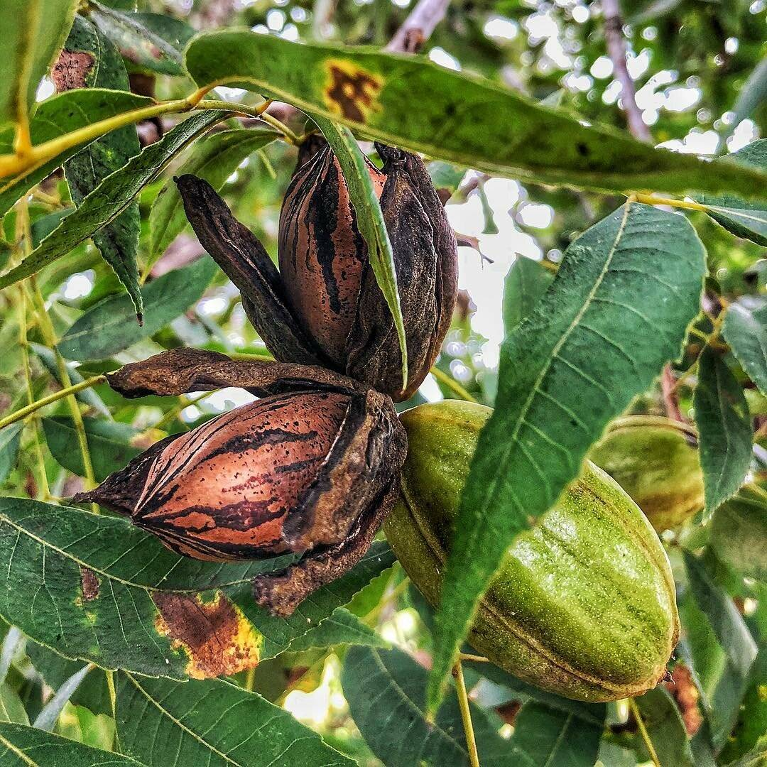 Орех пекан: где растет в россии? особенности выращивания ореха в россии, подмосковье и других климатических условиях - огород, сад, балкон - медиаплатформа миртесен