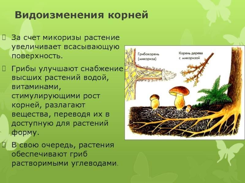 Микориза - mycorrhiza - qaz.wiki