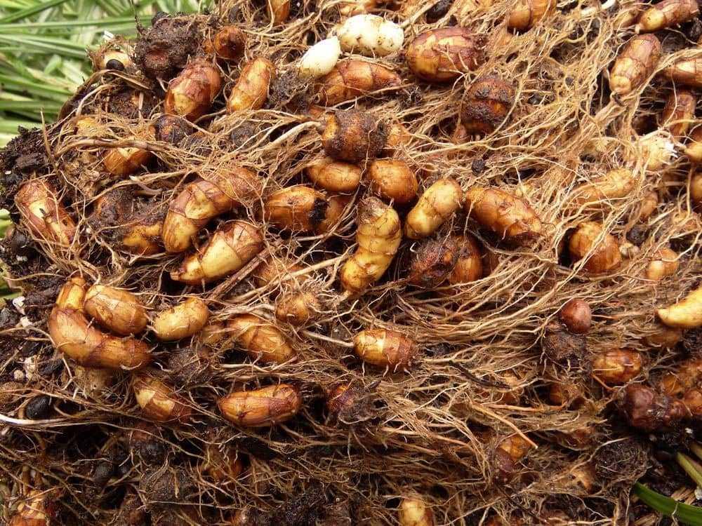 Выращивание земляного миндаля чуфы