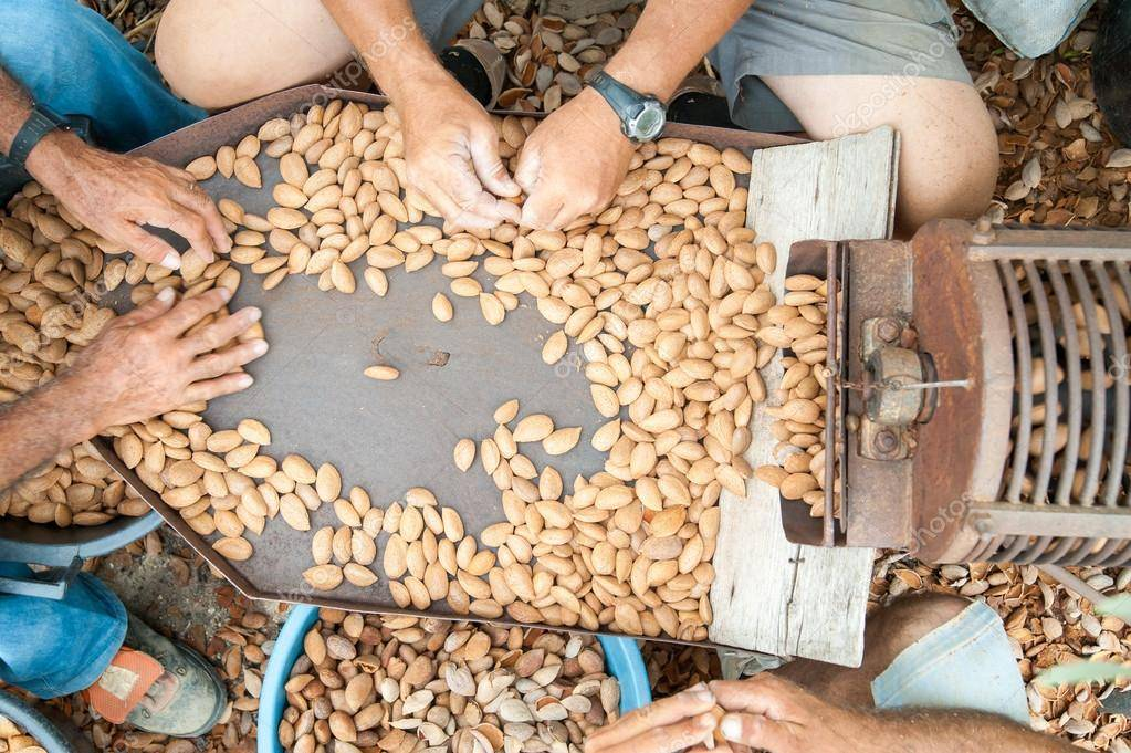 Уборка пшеницы: когда урожай убирают с полей, способы сбора зерна, как собирается озимая и яровая пшеница, влажность