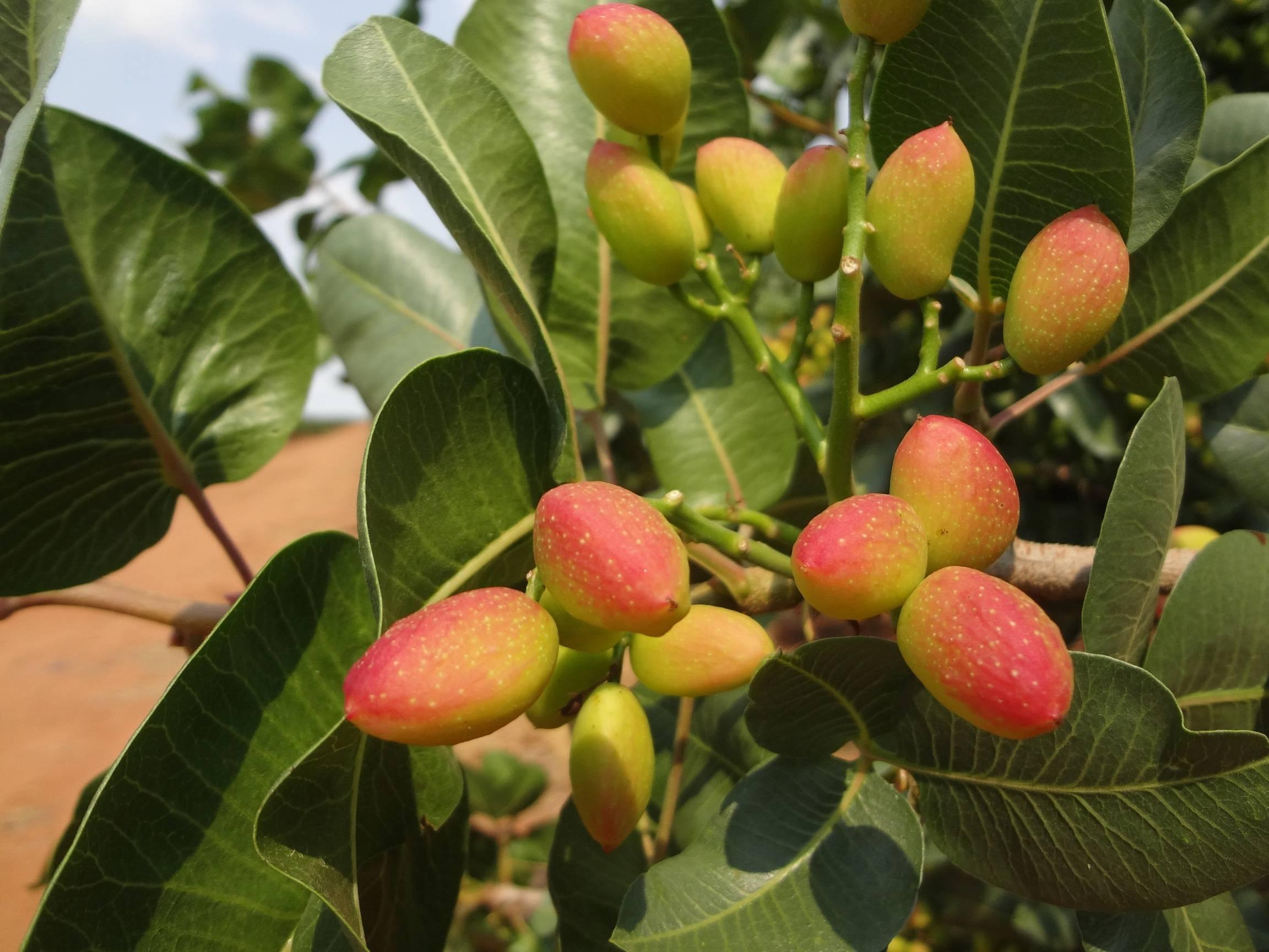 Фисташковое дерево: как растет, посадка и уход в домашних условиях