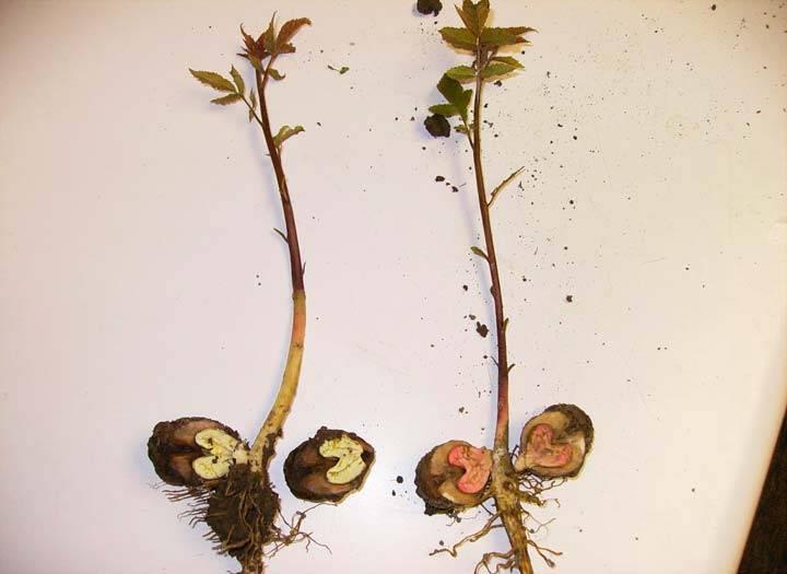 Размножение кедрового стланика: черенками и семенами | огородники