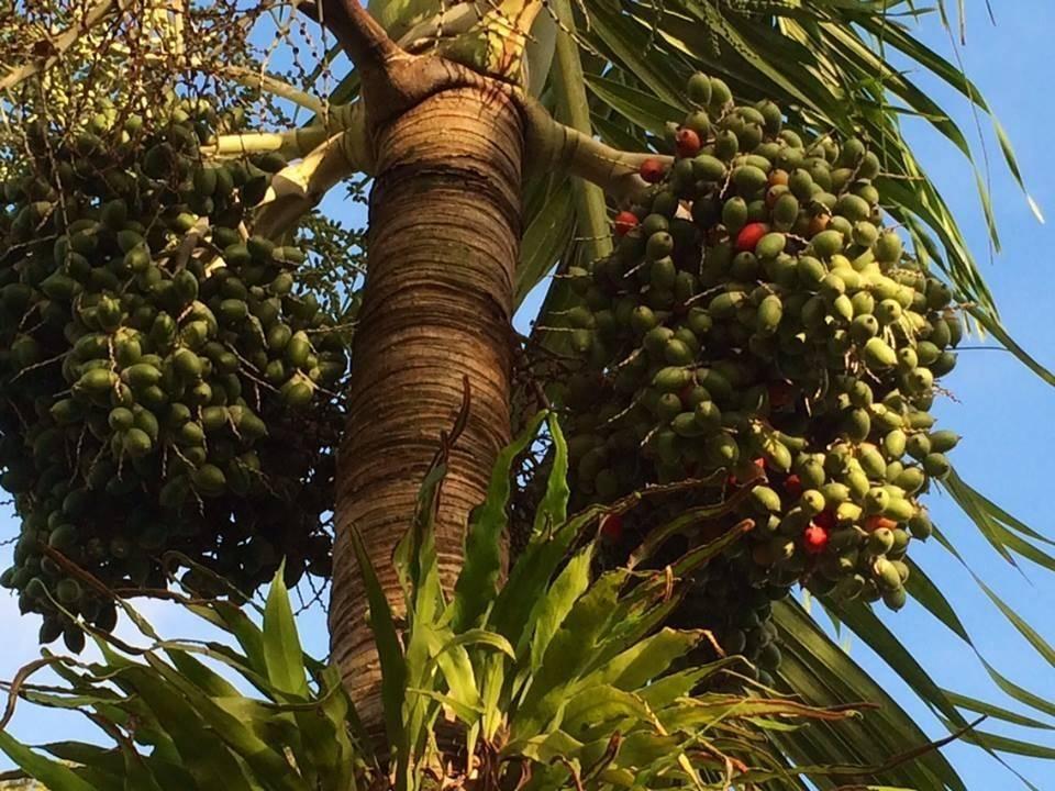 Где растет орех макадамия и как он выглядит