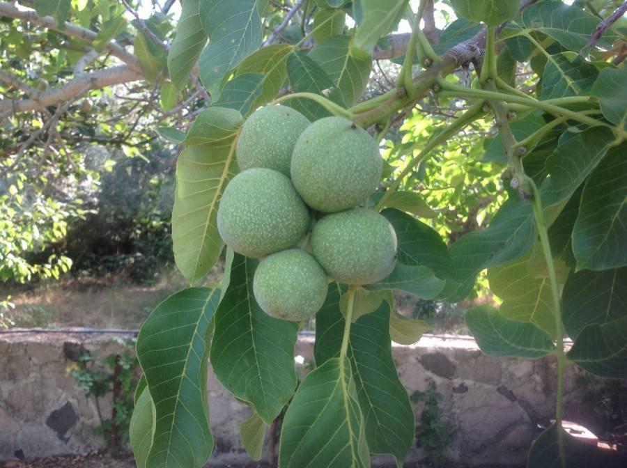 ✅ как посадить и вырастить грецкий орех - питомник46.рф