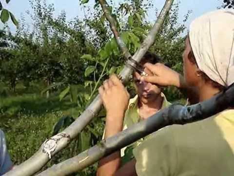 Размножение грецкого ореха черенками. прививка зимой и летом.