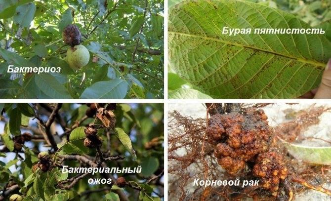 Как лечить дерево грецкого ореха от болезней и вредителей - секреты садоводов