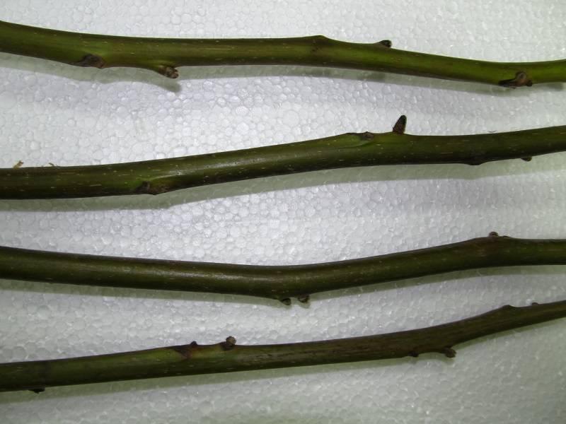 Как размножить грецкий орех