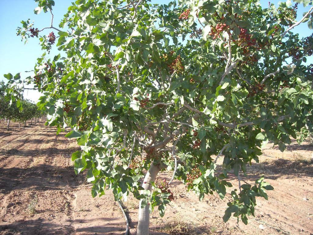 Фисташковое дерево: описание, как посадить и вырастить в домашних условиях
