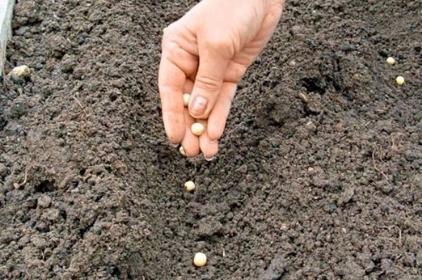 Арахис: как правильно вырастить, посадка и уход