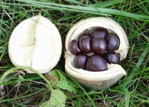 Чекалкин орех: морозостойкость, выращивание из семян