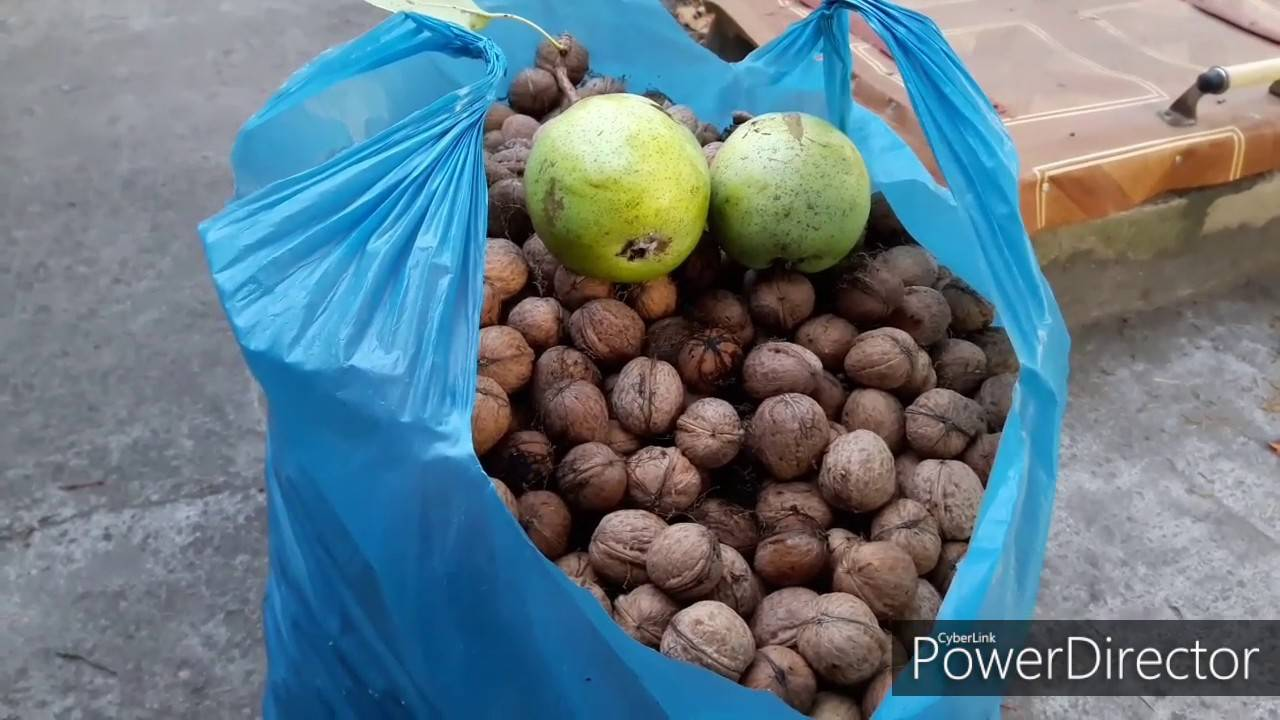 Сорта грецкого ореха для казахстана, узбекистана, кыргызстана — портал ореховод