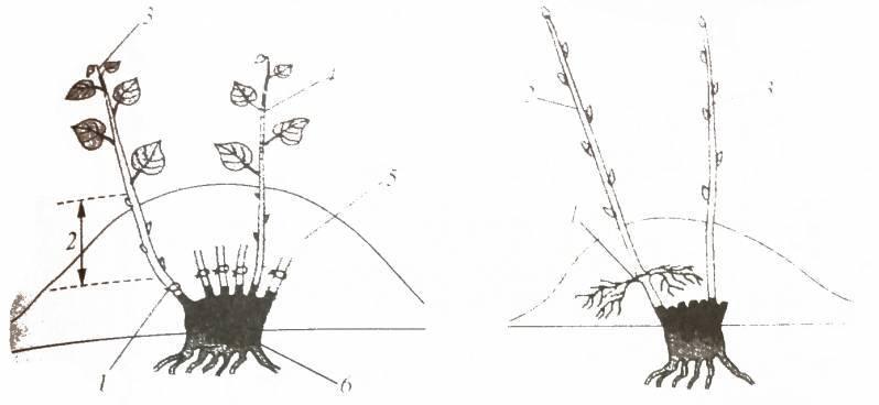 Фундук: посадка, уход, сорта, формирование, размножение