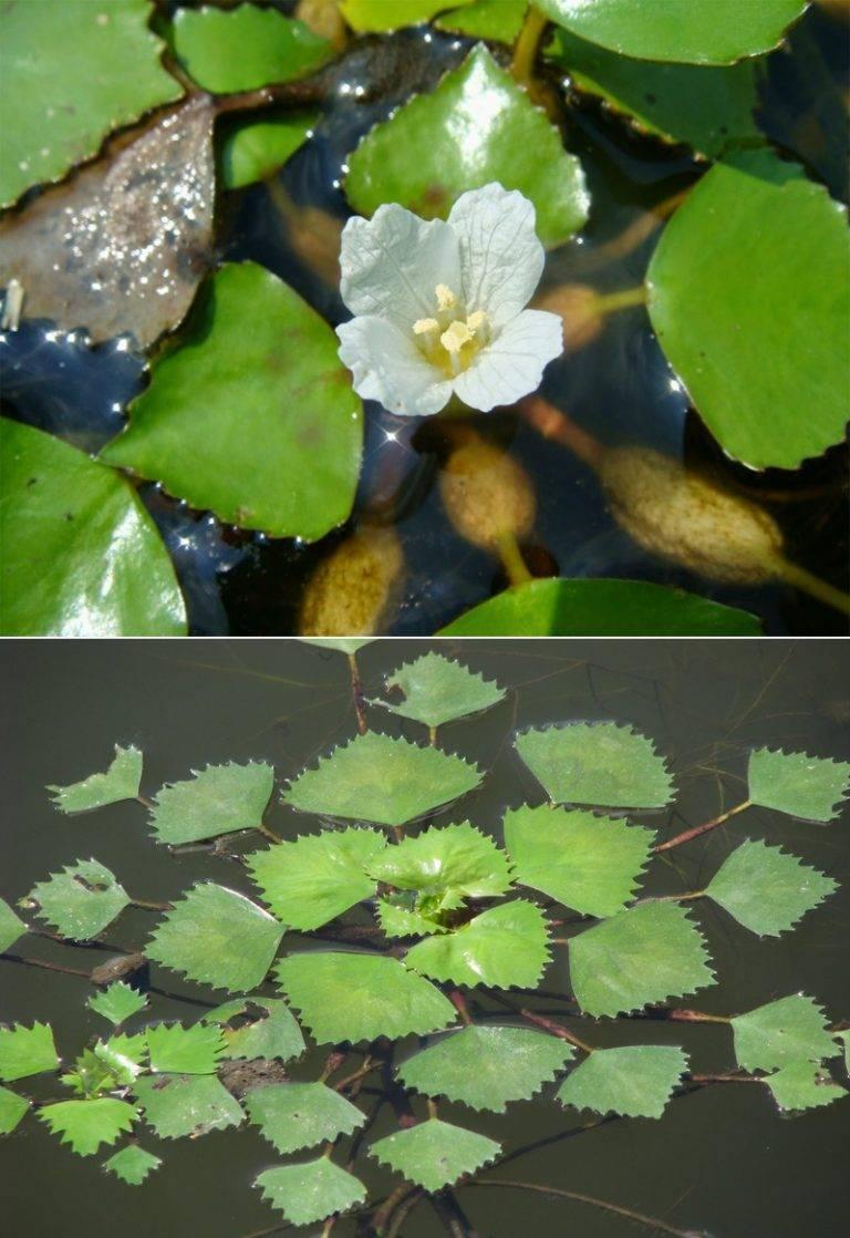 Водяной орех чилим с шипами: как еще называется, кроме рогульник плавающий, максимовича, азовский, как выглядит, где растет в россии, как применяют?