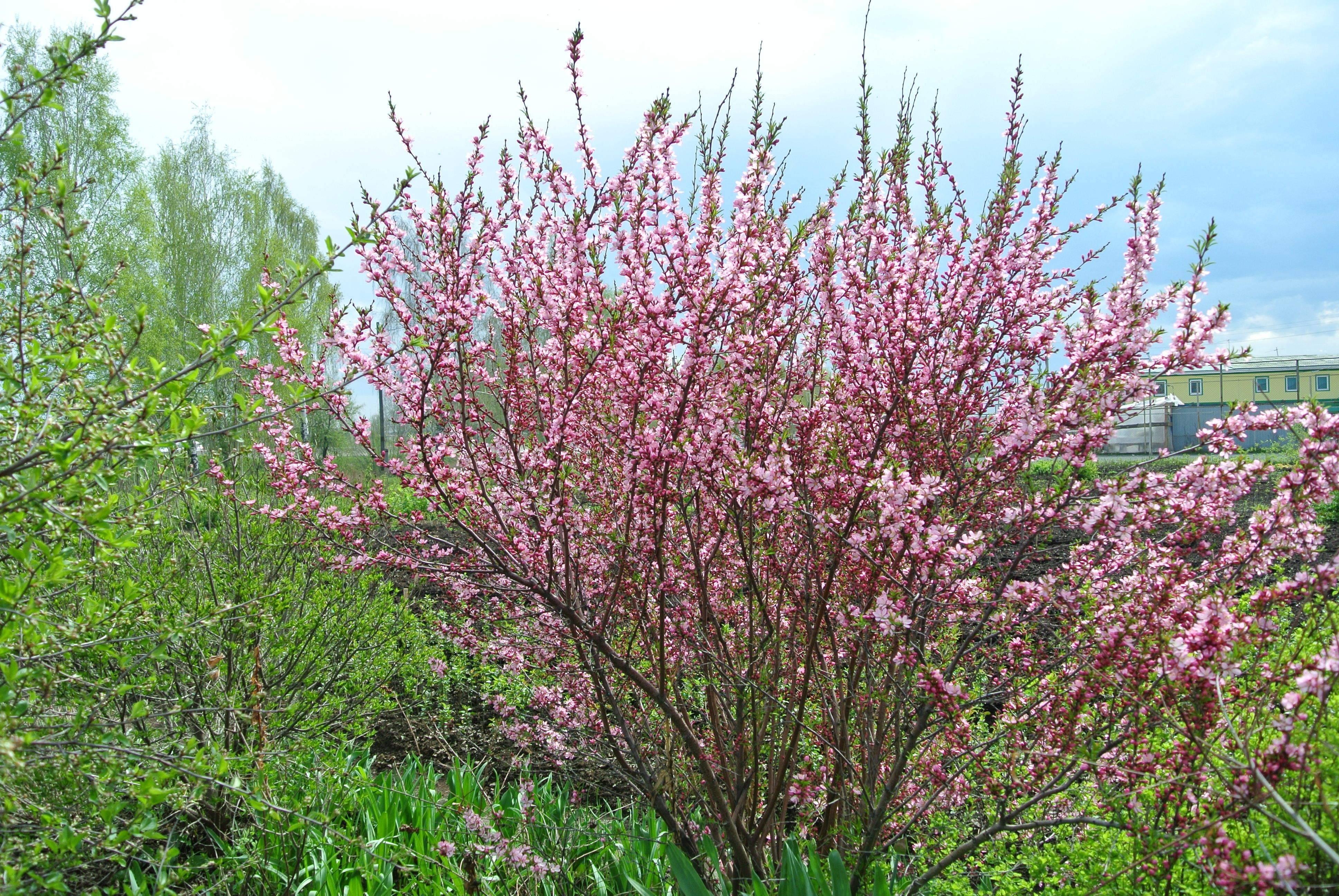 5 самых интересных видов миндаля для посадки в весенний сад