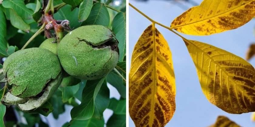 Как использовать листья грецкого ореха?