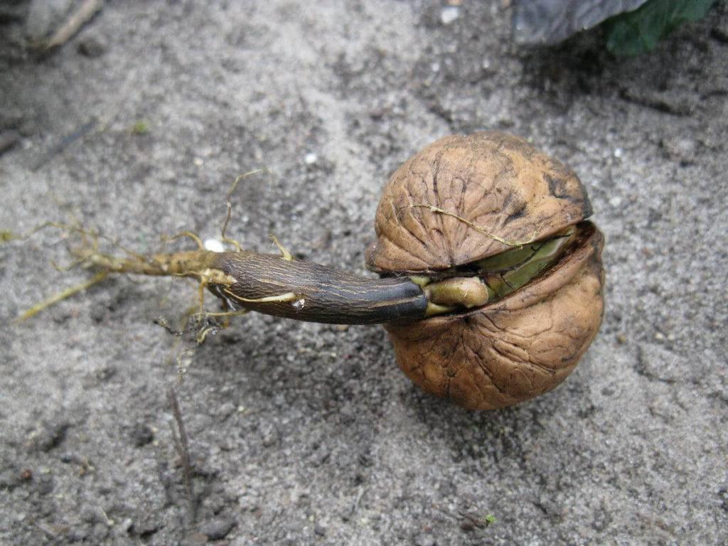 Как вырастить грецкий орех из ореха в домашних условиях