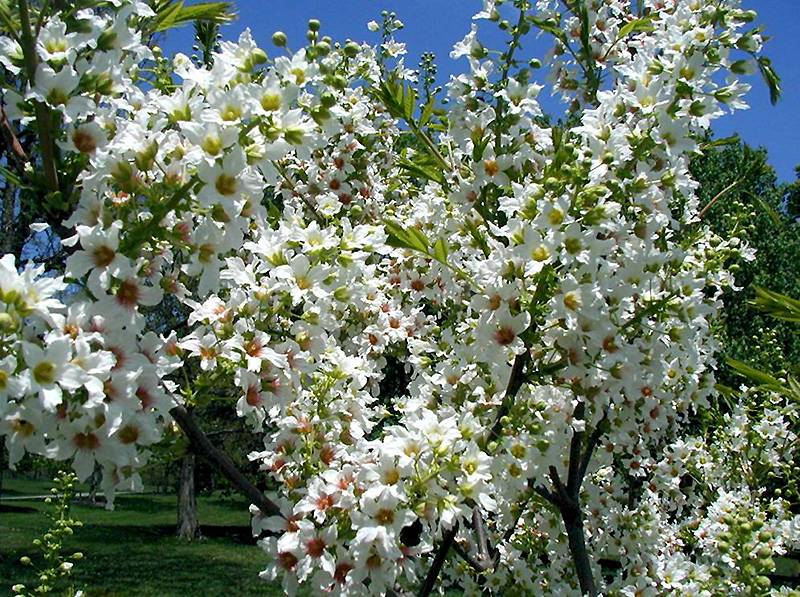 Орех чекалкин: применение, размножение и выращивание, использование в саду | огородники