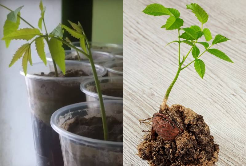 Как правильно вырастить фундук из ореха в домашних условиях