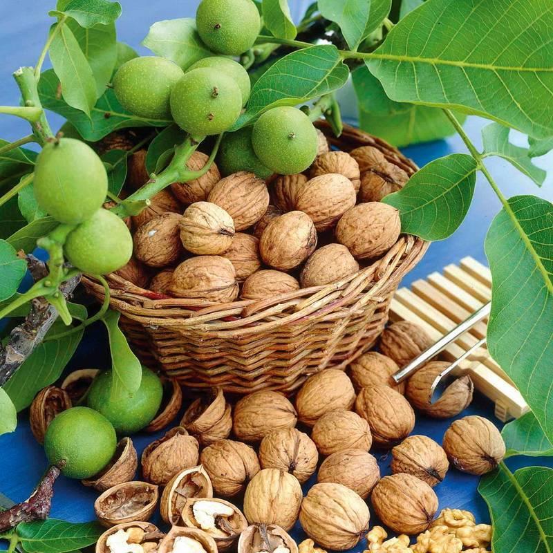 Как «воспитать» грецкий орех