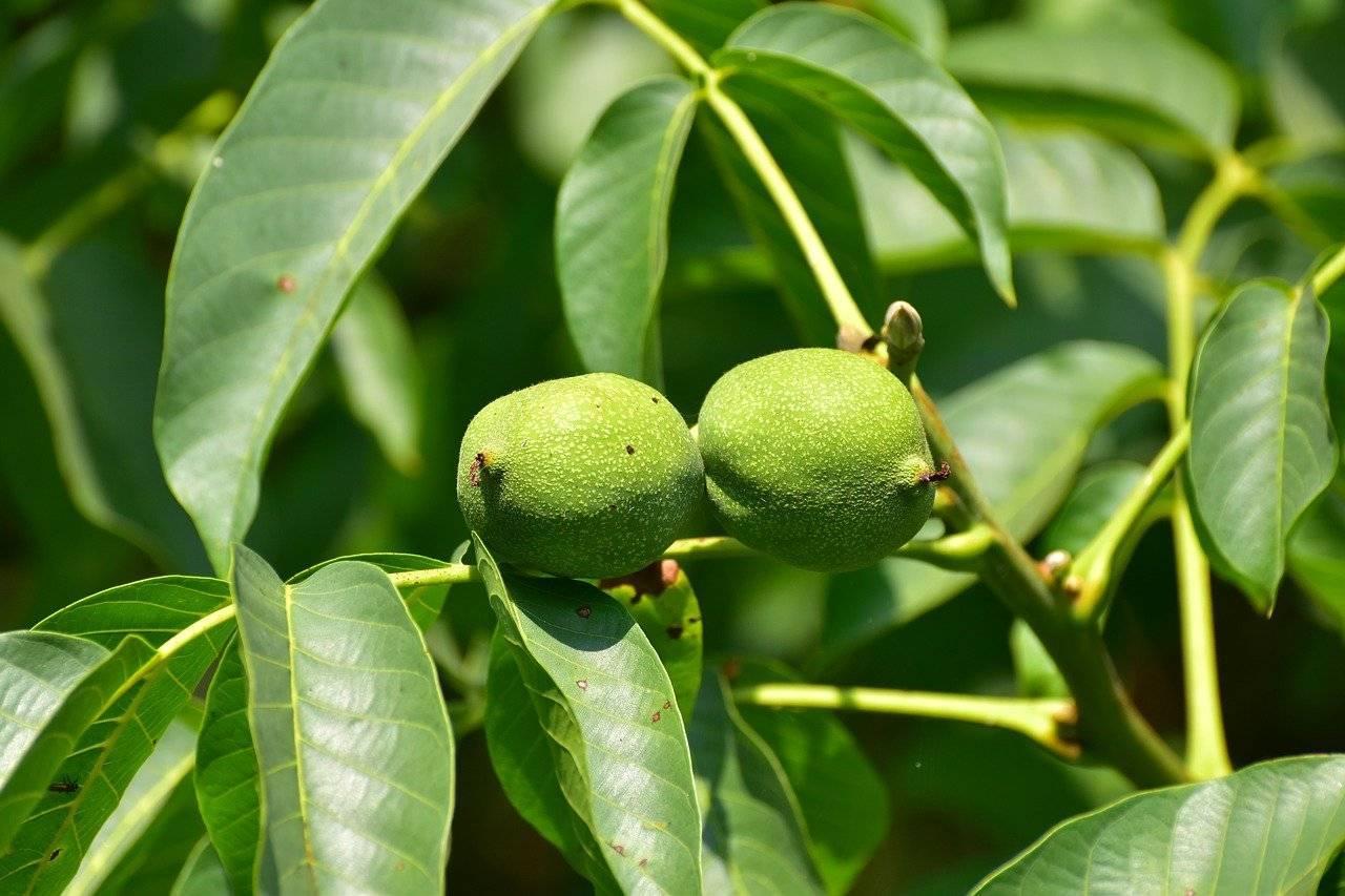 Грецкий орех: как растет дерево, посадка, уход, фото