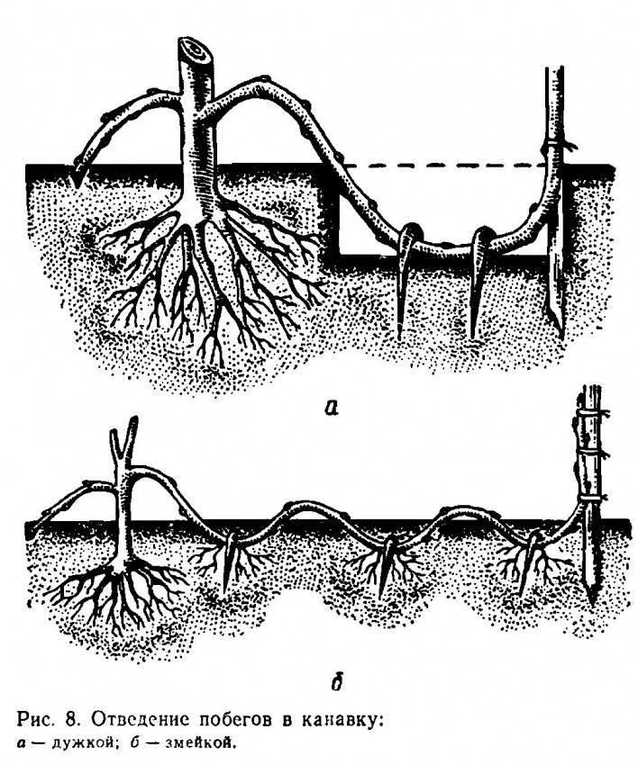 Как правильно привить и обрезать фундук