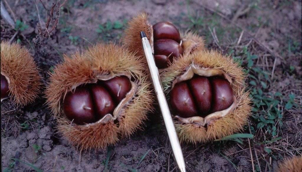 Как вырастить каштан из ореха