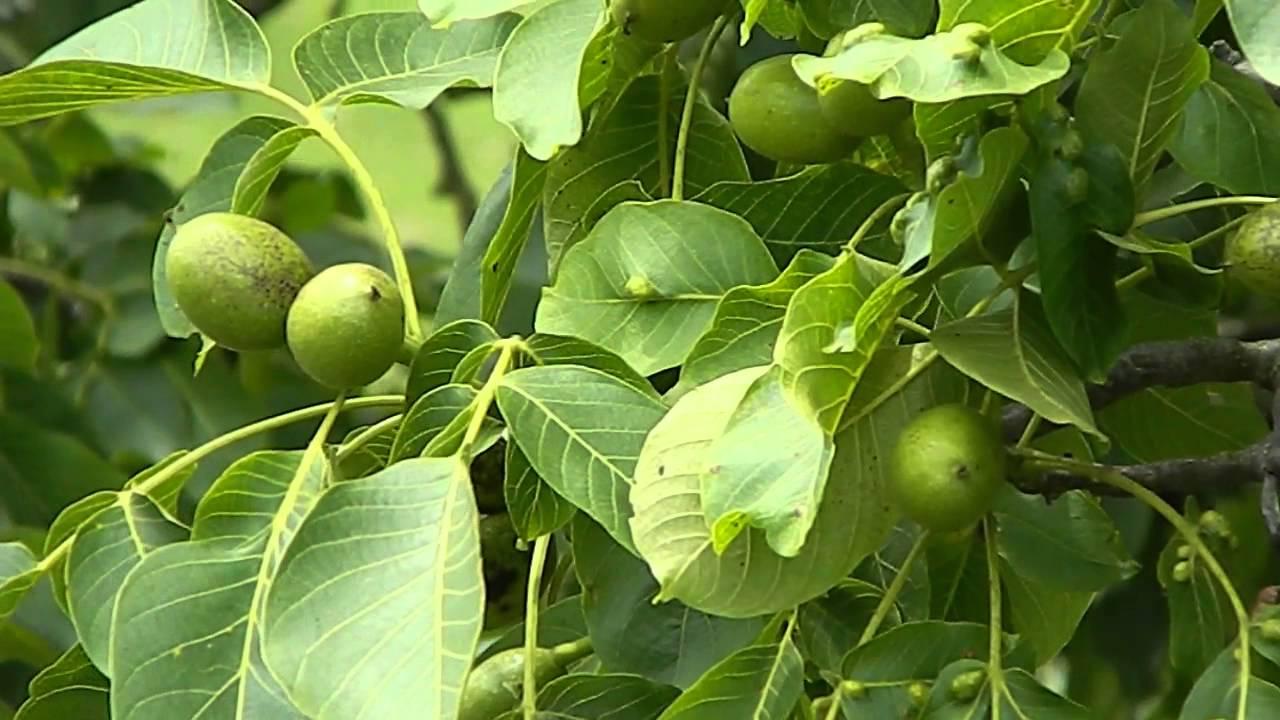 Грецкий орех в природе