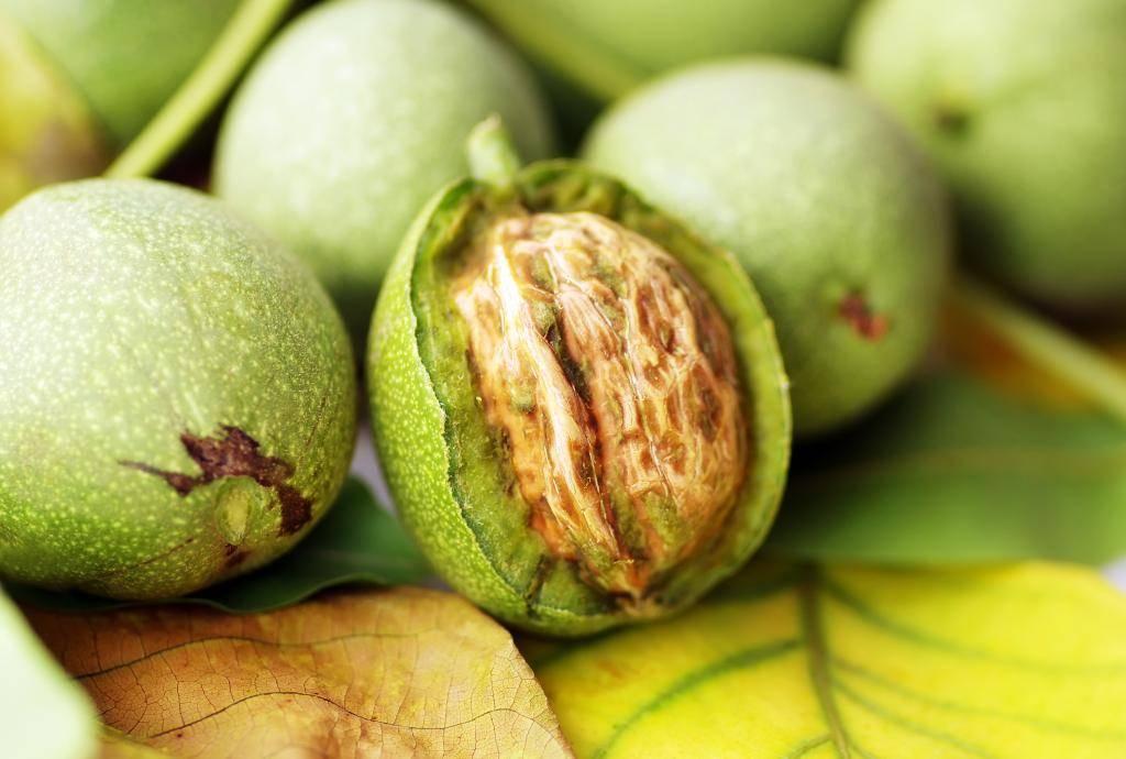 Полезные свойства зеленого грецкого ореха и действенные рецепты