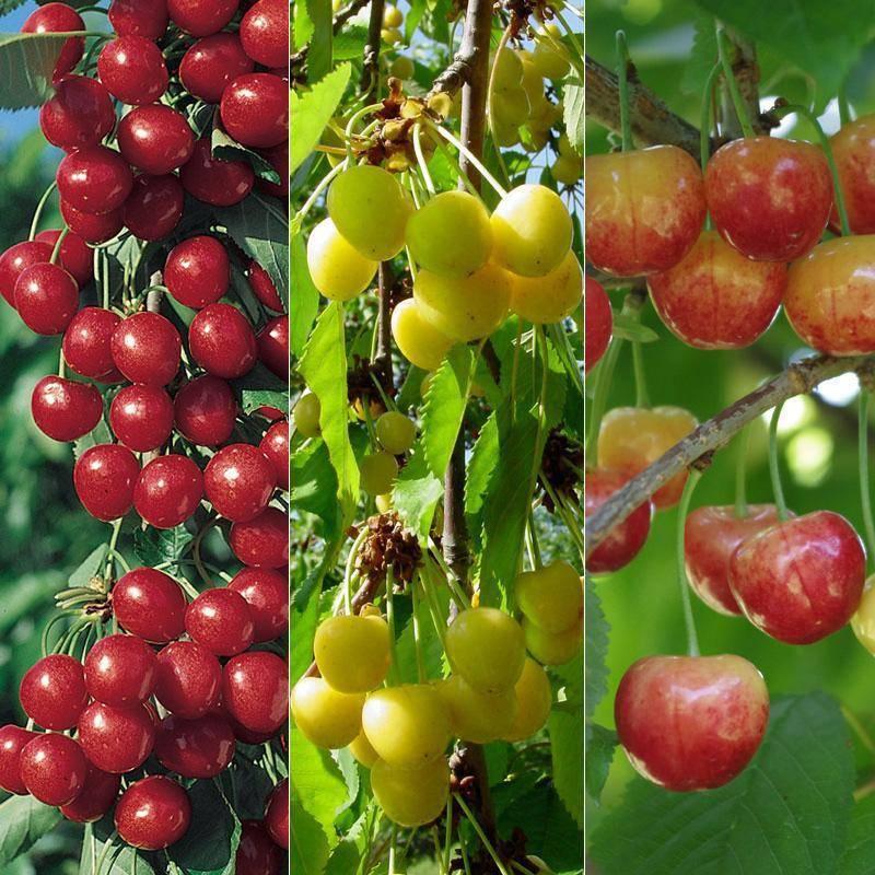 Как организовать в саду идеальное соседство: плодовые деревья + кустарники