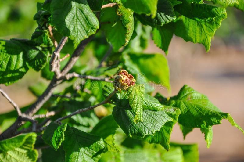 Фундук трапезунд: описание и характеристики сорта, выращивание, размножение