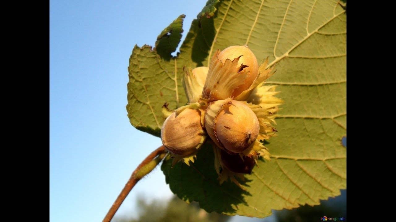 Грецкий орех: как растет дерево, на котором костянки, и где в мире, откуда привозят, как выглядит цветущее и ботаническое описание, высота, размеры плода, древесина