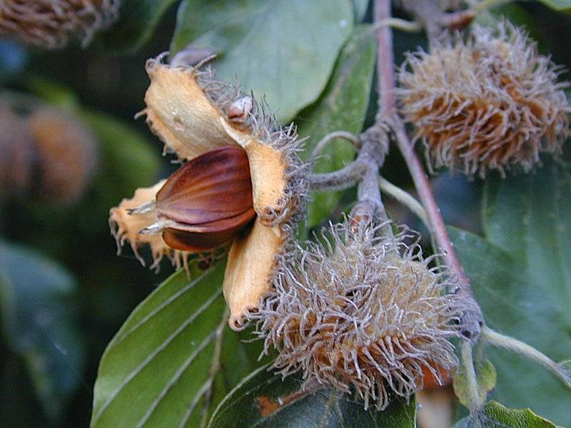 Черный орех полезные свойства и противопоказания, применение - орех эксперт