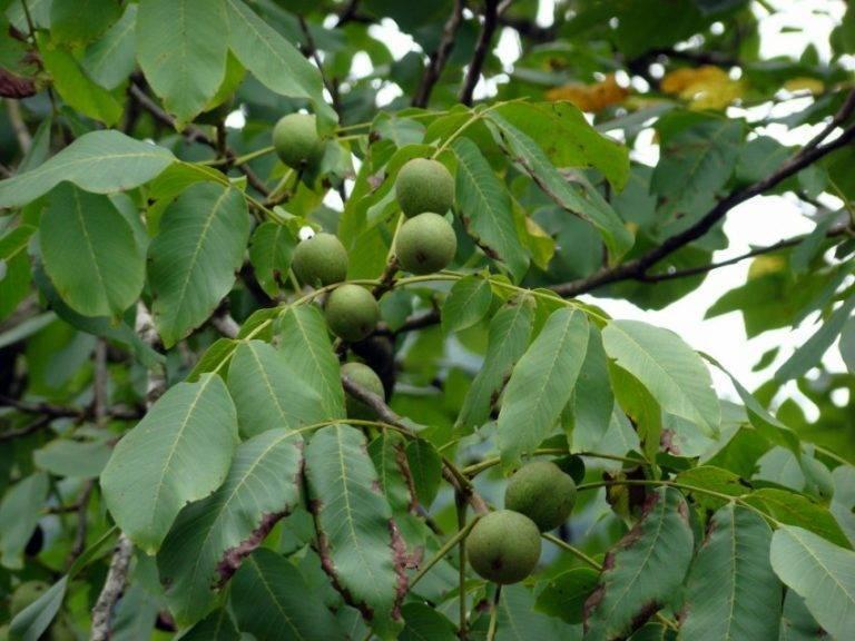 Древесные породы: грецкий орех