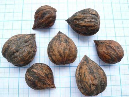 Как сажать орех сердцевидный