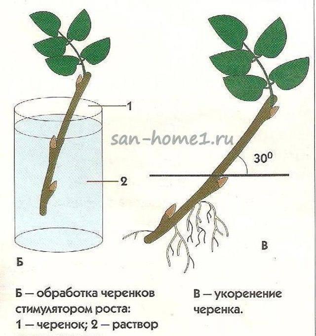 Как размножить кустарники черенками