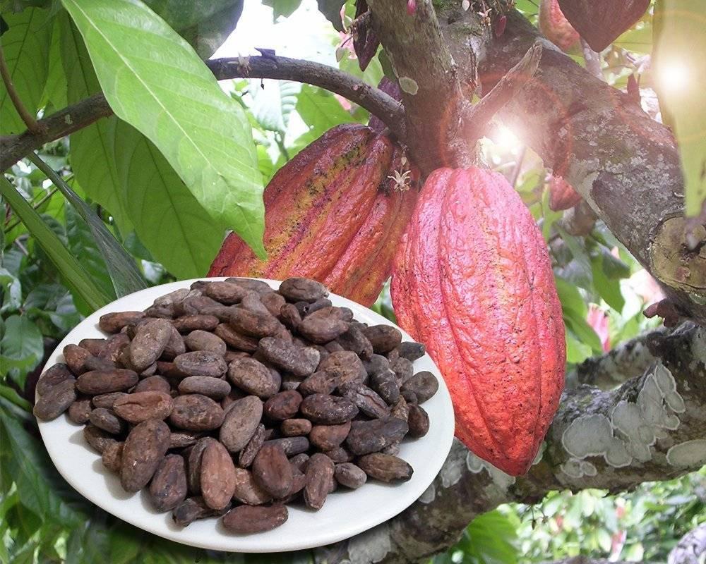 Все о какао-бобах в народной медицине