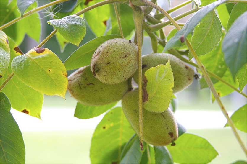 Серый орех: описание. распространение, размножение