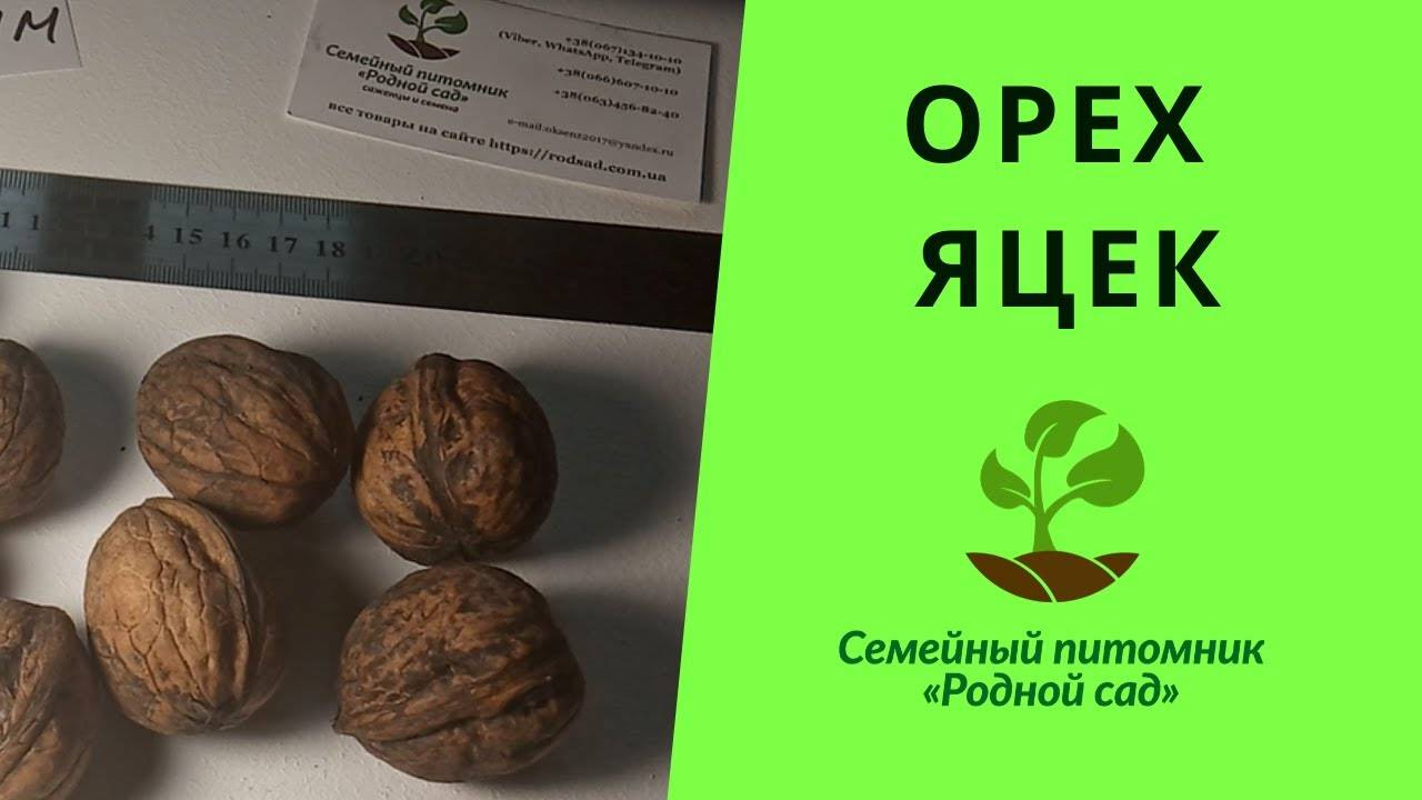 Walnuts broker: схема посадки грецкого ореха, идеал, кочерженко, великан, иван багряный, яцек