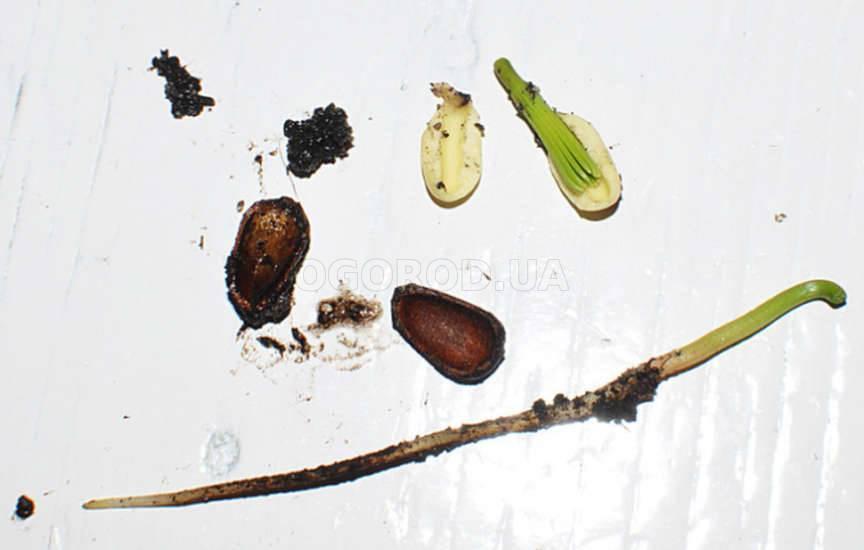 Как правильно осадить и вырастить кедр из кедрового орешка в домашних условиях