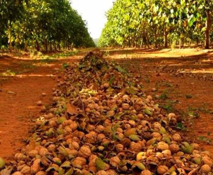 Как выращивают грецкие орехи в промышленных масштабах?