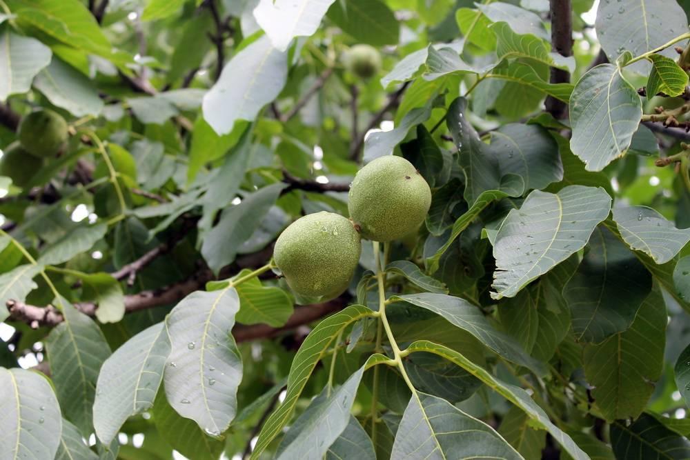 Как вырастить грецкий орех из орешка?