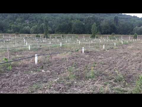 Фундук: посадка и уход за лещиной в открытом грунте