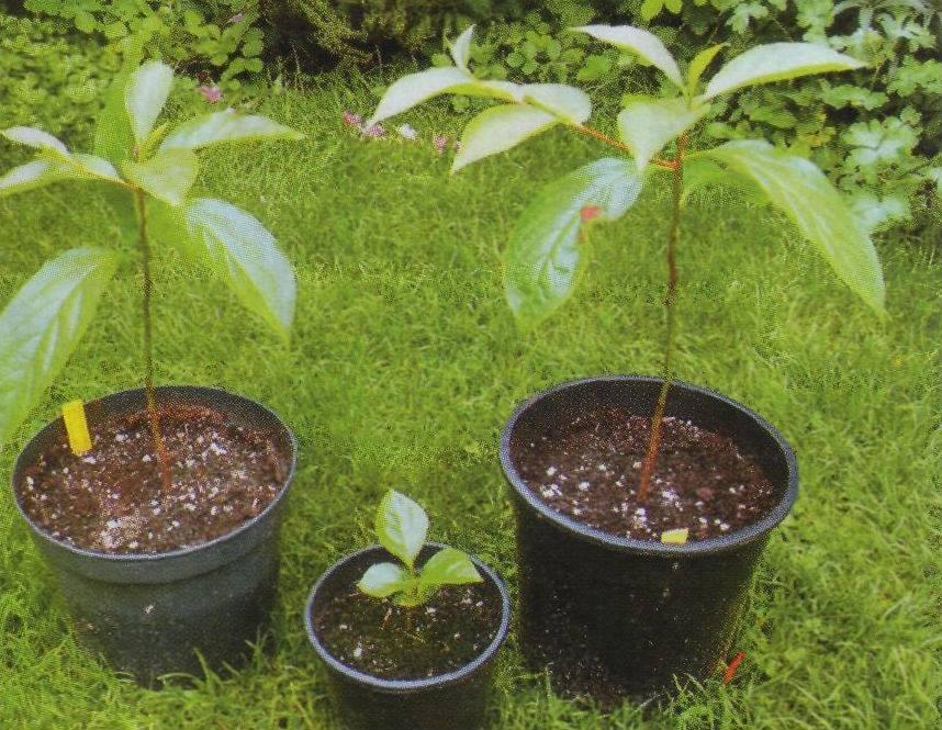 Как вырастить дерево грецкого ореха из черенка? плюсы, минусы и виды этого способа размножения